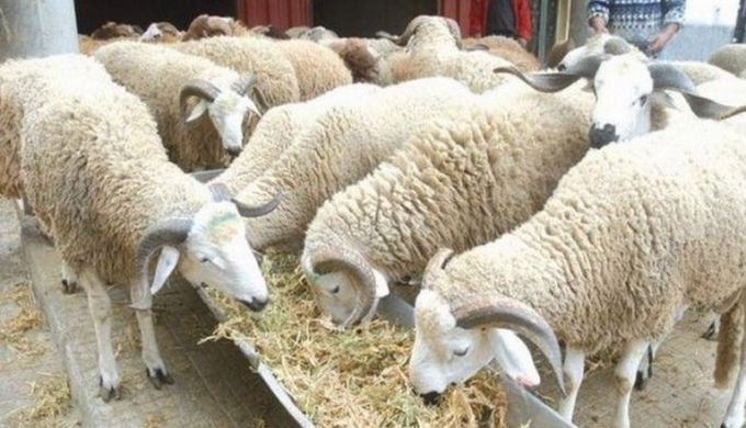 Pourquoi les Musulmans sacrifient des moutons chaque année ?