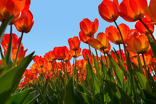Misteri Bunga Tulip