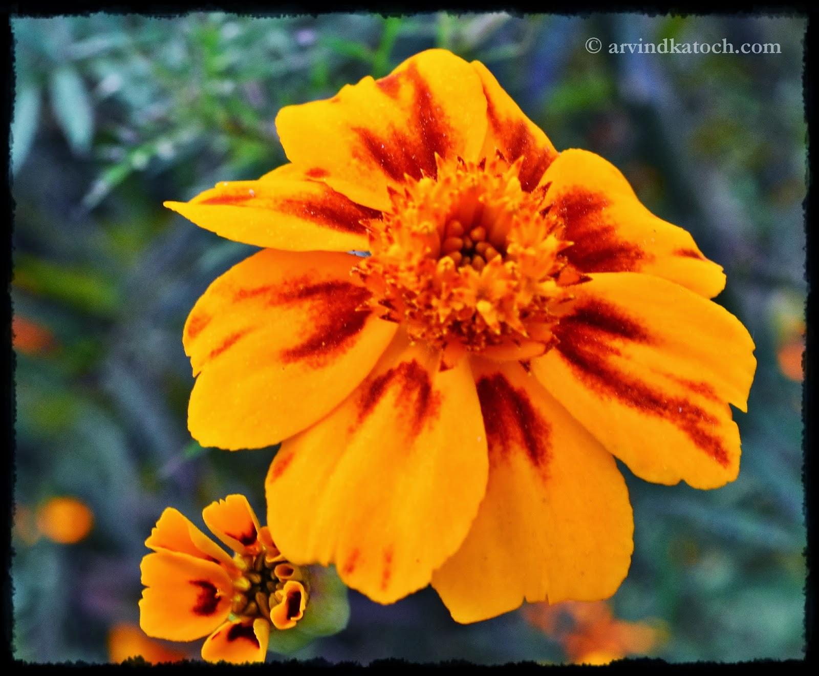 Yellow Flower, Marigold, Himalayan Marigold,