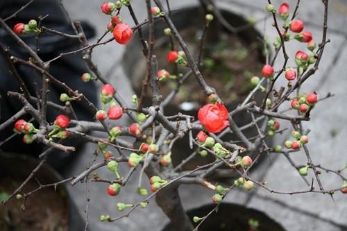 Chọn cây cảnh ngày tết thế nào cho may mắn cả năm Mai-do-21