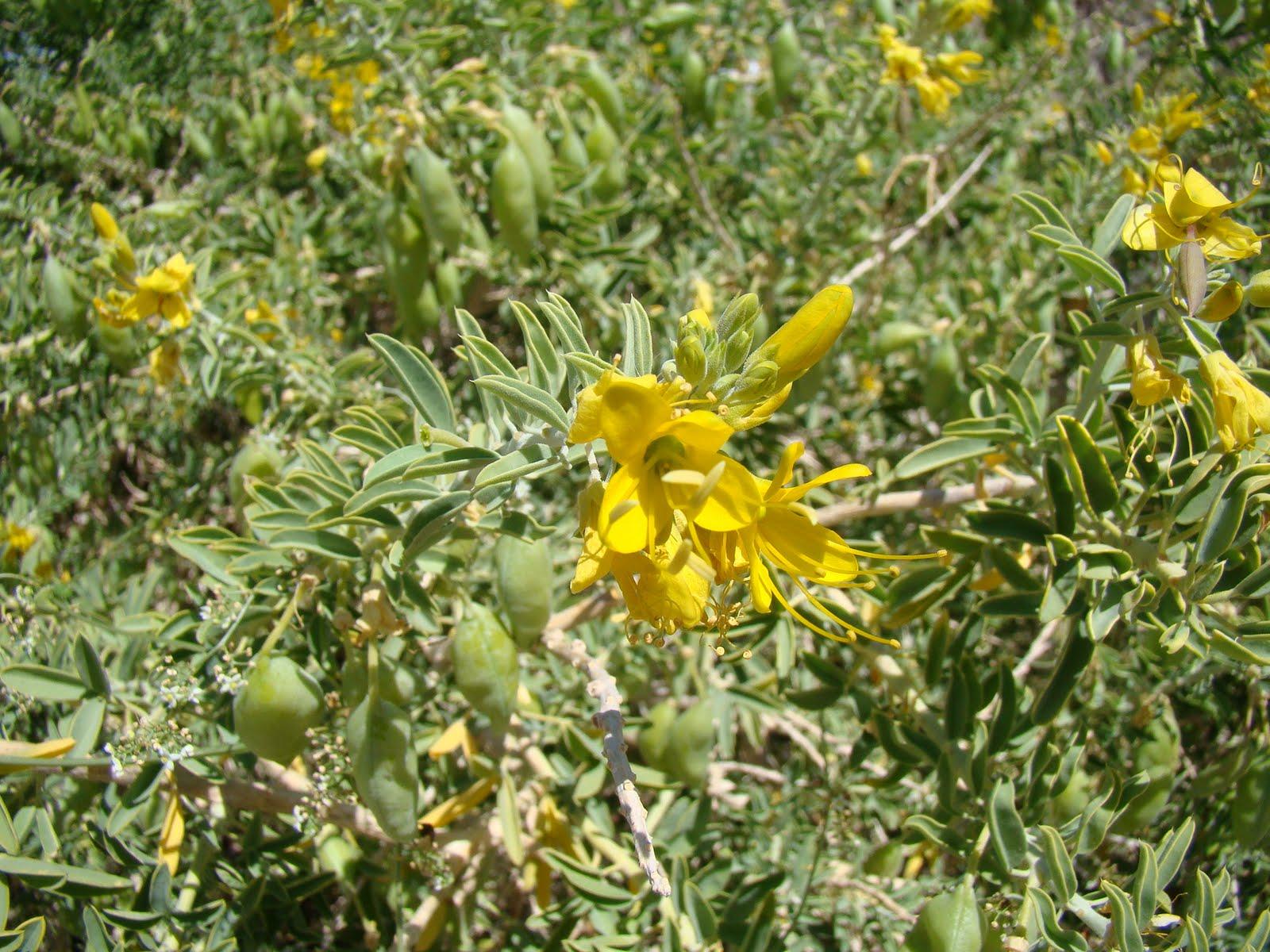Leaves Of Plants Mystery Of Jojoba