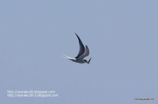 魚を咥えて飛ぶコアジサシの写真