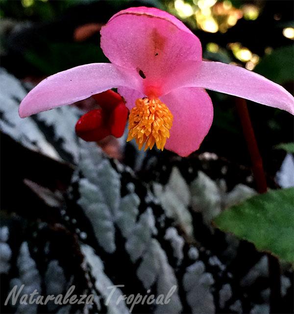 Flor de una begonia más de cerca