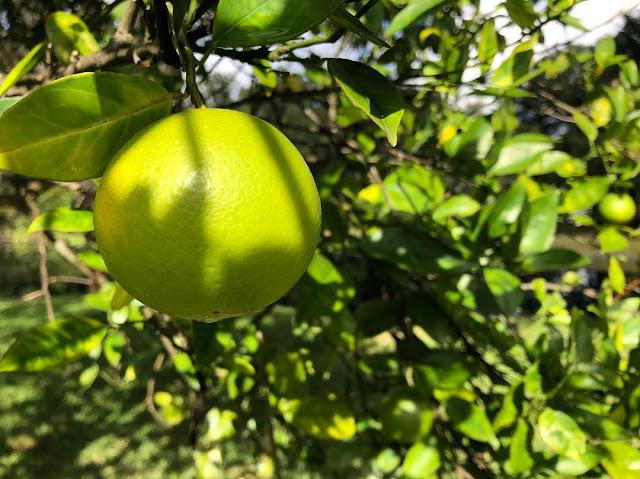 Kombinasi Madu Dengan Jeruk Nipis untuk menghilangkan jerawat
