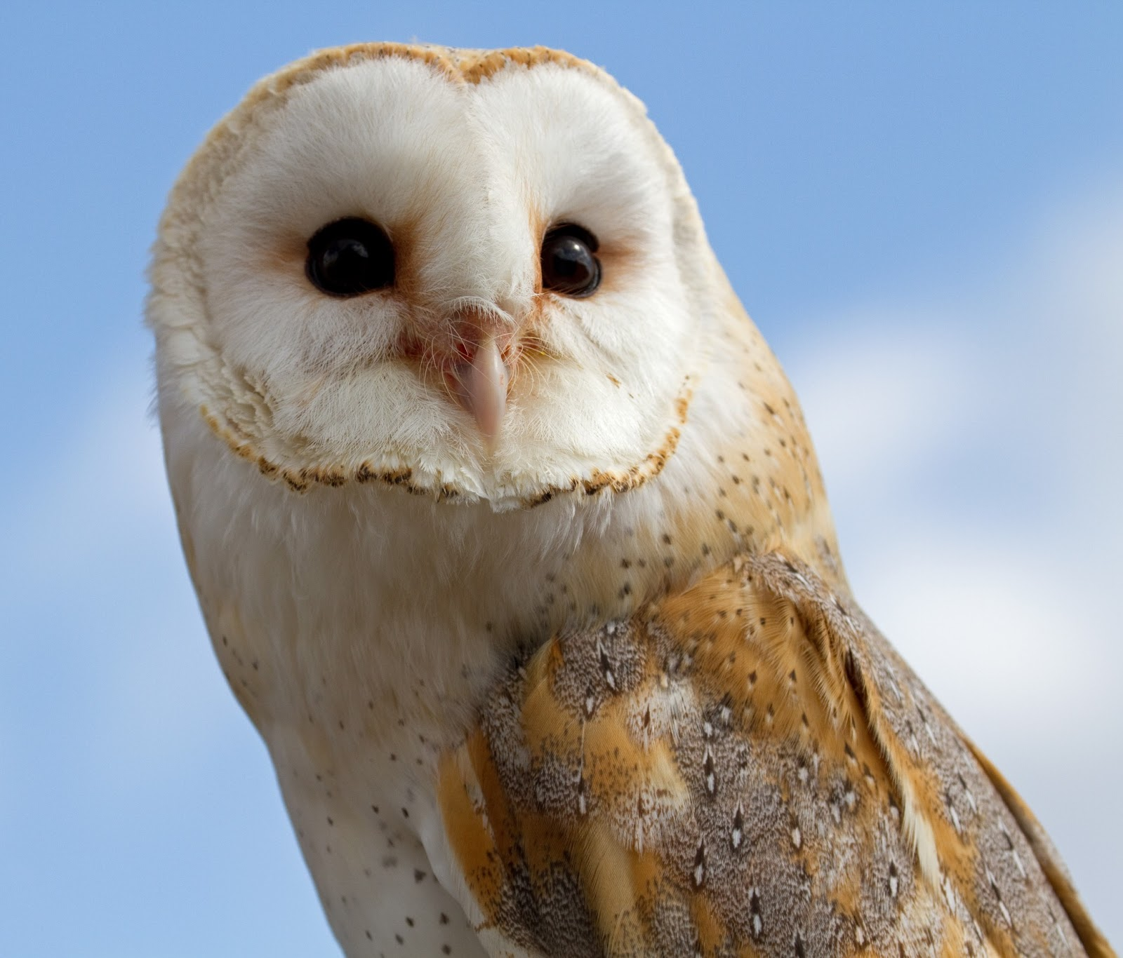 Barn Owl Amazing Animal Basic Facts Pictures Animals
