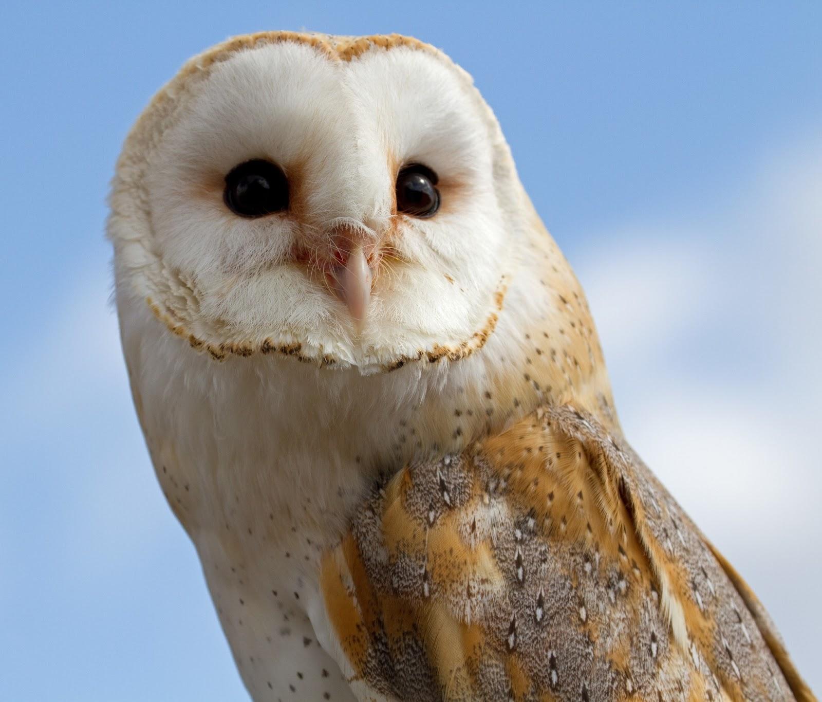 Barn Owl Amazing Animal Basic Facts Amp Pictures Animals