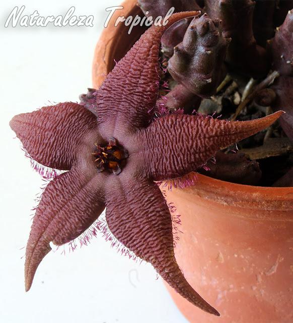 Detalles de la flor de la planta suculenta Stapelia schinzii var. angolensis