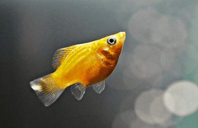 Penyebab Ikan Molly Mati dan Cara Mencegahnya