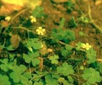 atau daun asam kecil sebutan orang jawa Kandungan Kimia calincing dan faedahnya