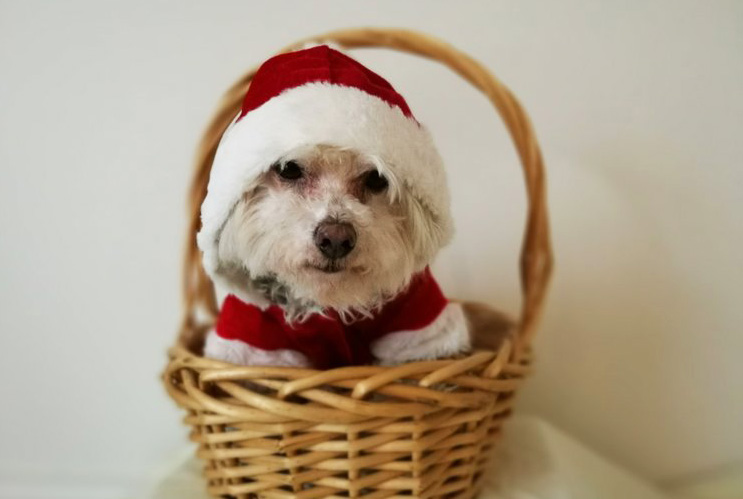 Elmo dog from Doggy Tea Breaks in a Santa costume in a basket