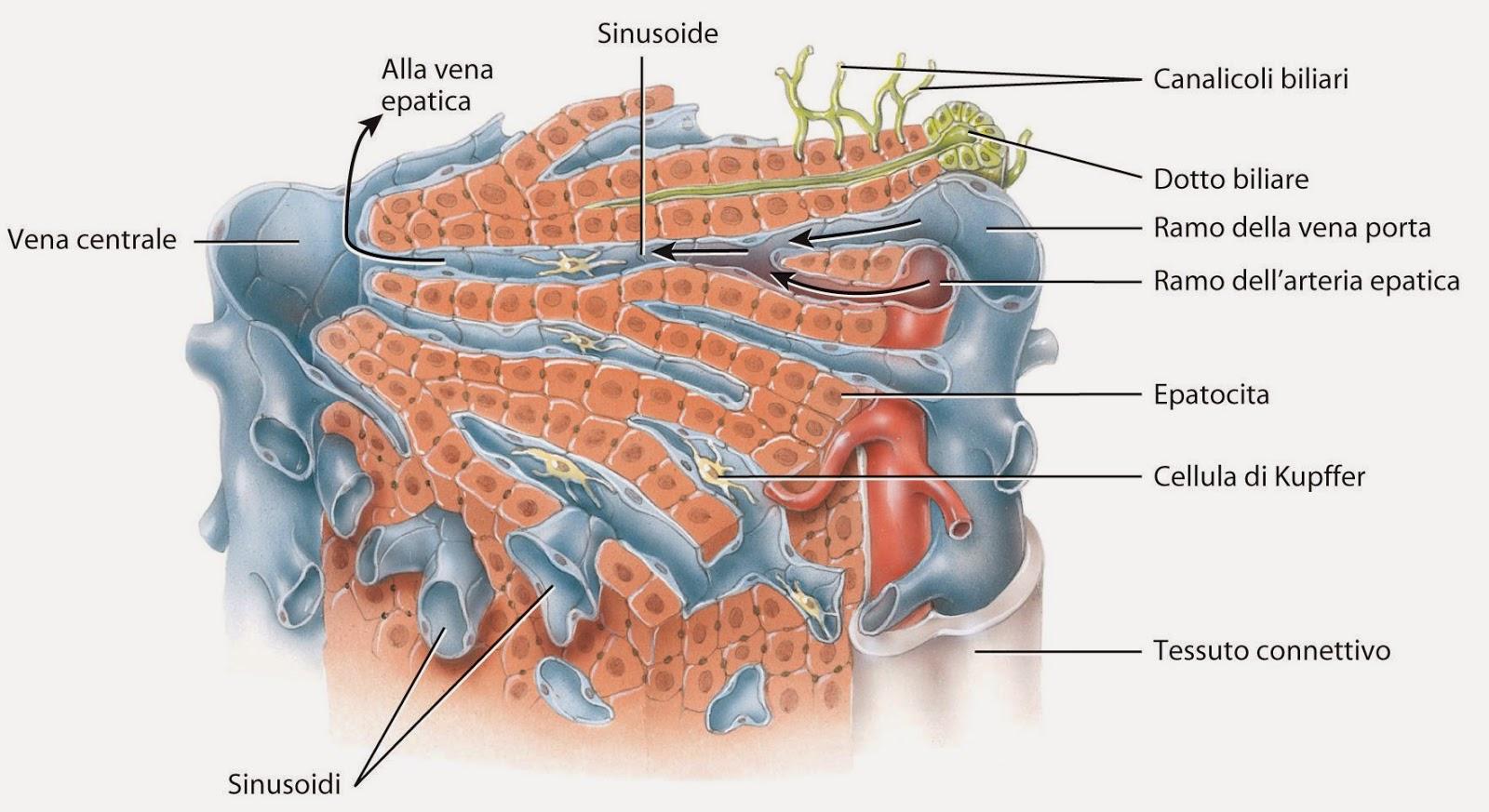 quando la prostata rivers secrezioni nell uretra