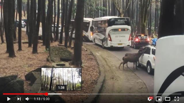 Segerombolan Rusa dan Monyet ditengah Jalan mendekati Mobil
