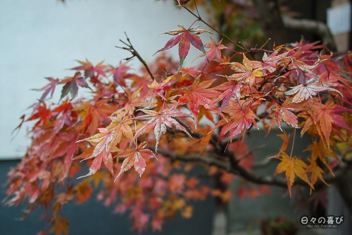 branche momiji automne