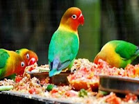 Daftar Makanan Lovebird Sesuai Umur
