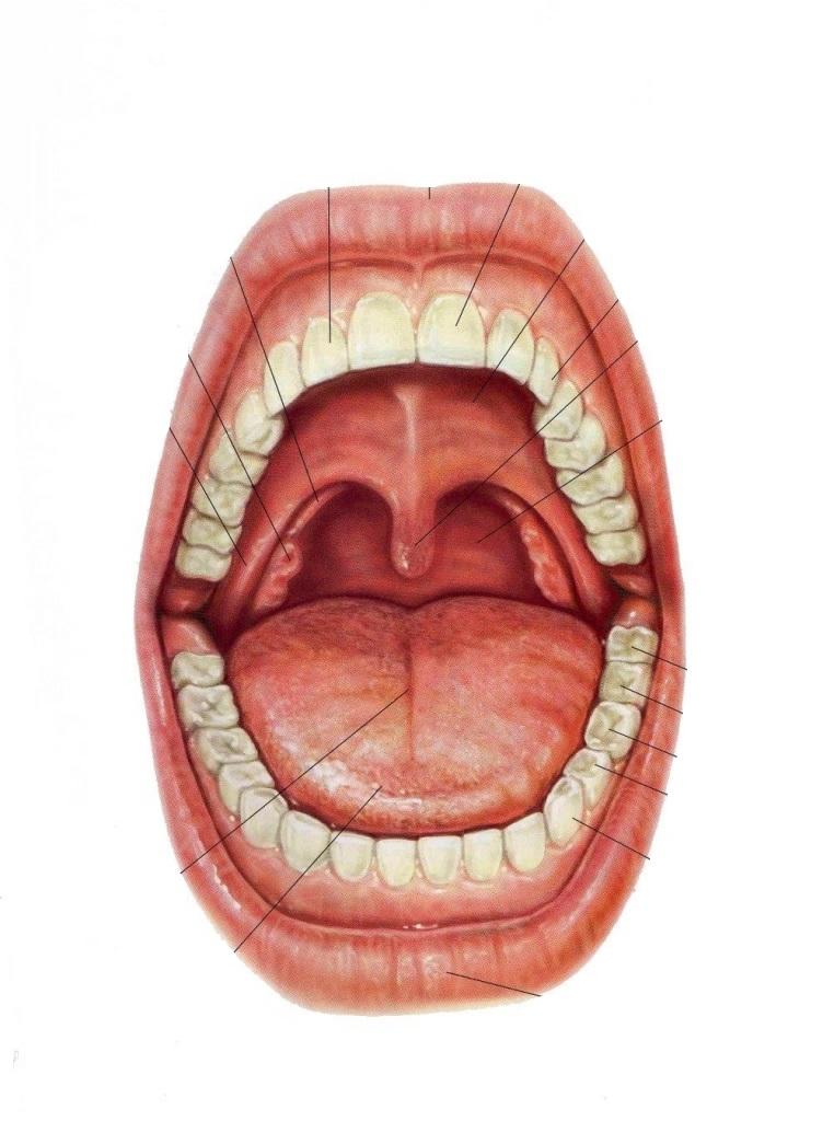 Increíble Boca Anatomía Cavidad Festooning - Imágenes de Anatomía ...
