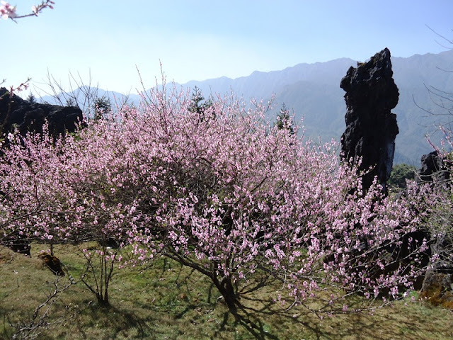 Japanese cherry blossoms blooming beautifully at the foot of Fansipan mountain 1