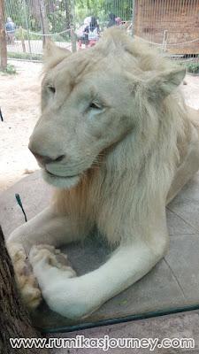 singa putih afrika di faunaland ancol jakarta