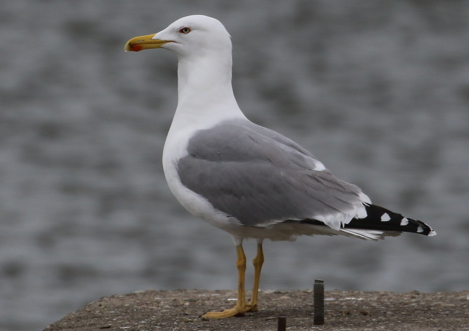 (L.m.michahellis) ; Yellow-legged gulls froom Black Sea /Gaviota patiamarilla de Mar negro/