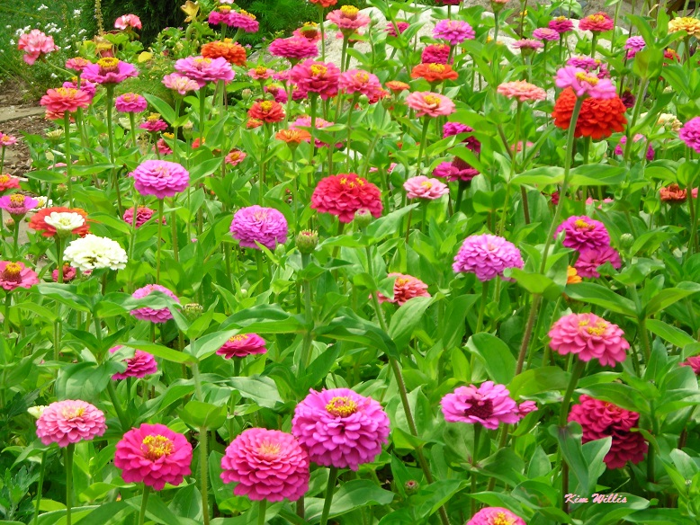 Gardening granny 39 s gardening pages annuals general articles cutting gardens for Best flowers for cutting garden