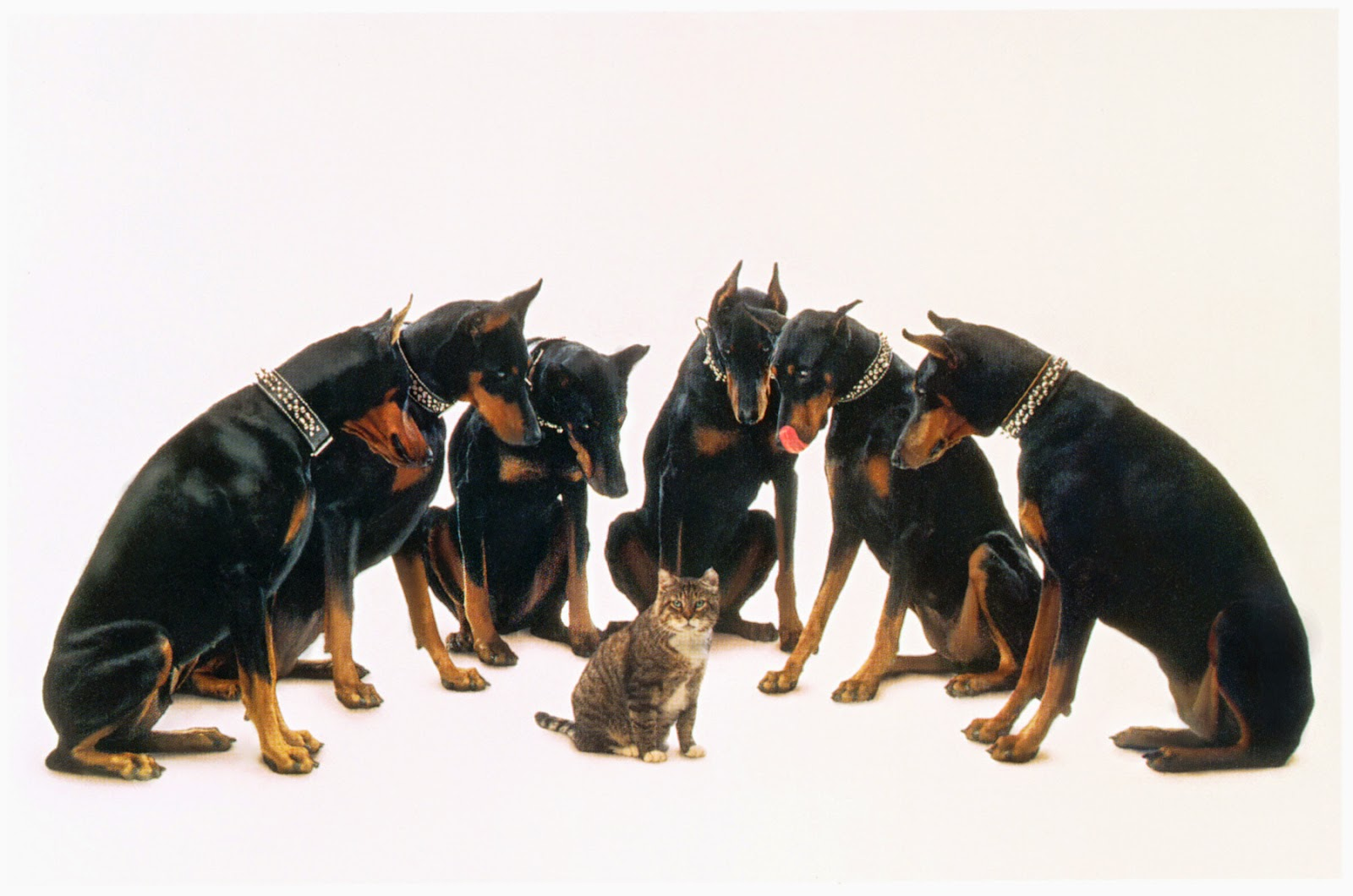 Everything about your Doberman Pinscher - LUV My dogs