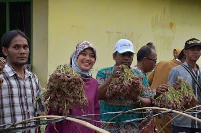 Bupati dan Kelompok Tani Maju Satu Panen Perdana Bawang Merah di Kecamatan Batanghari