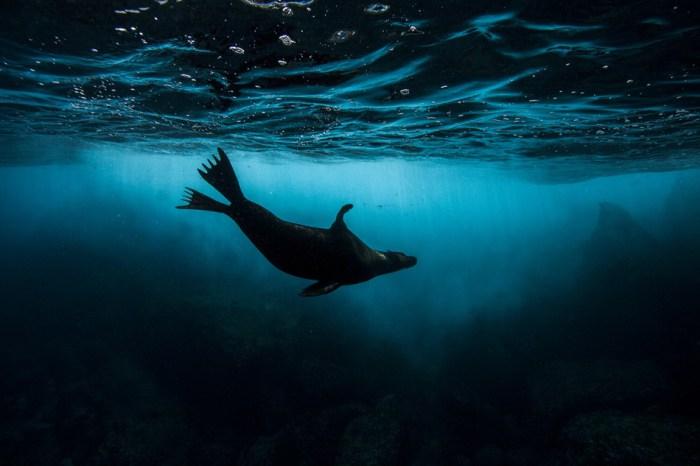Leão-marinho. Ilhas Galápagos