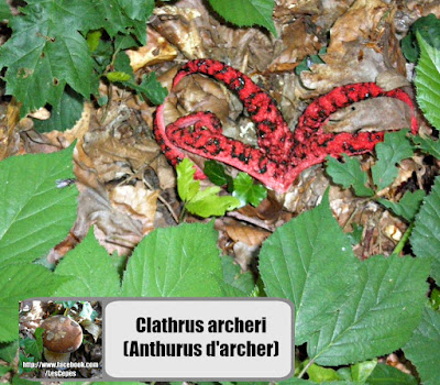 Clathrus archeri (Anthurus d'archer)