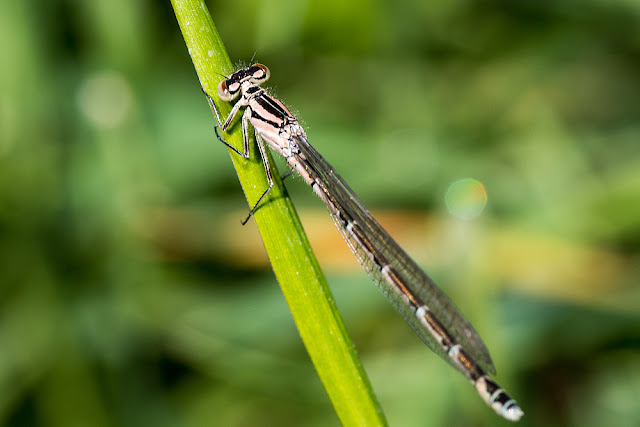 Common Blue Damselfly (immature or female)