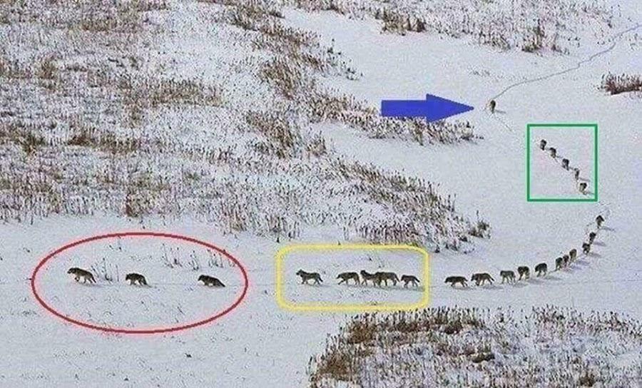 organización en una manada de lobos