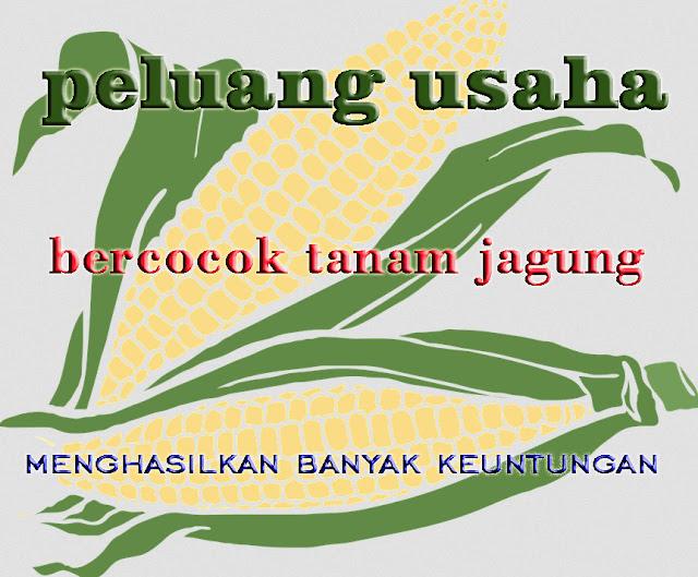 peluang usaha tanaman jagung menghasilkan banyak keuntungan