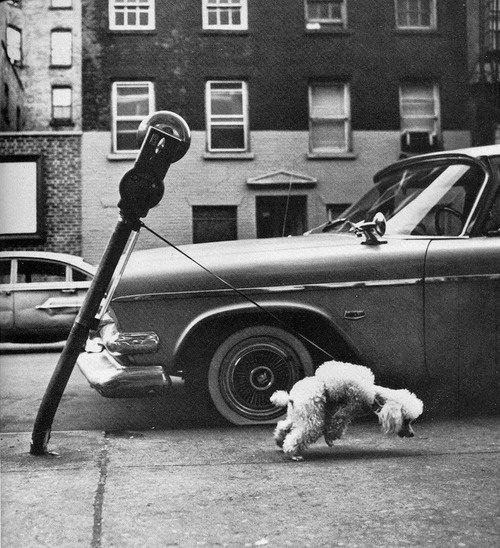 Funny Super Strong Poodle Pulling Parking Meter Joke Photo
