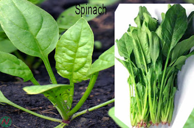 Spinach, spinach greens
