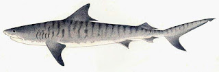 tiburon tigre Galeocerdo cuvier
