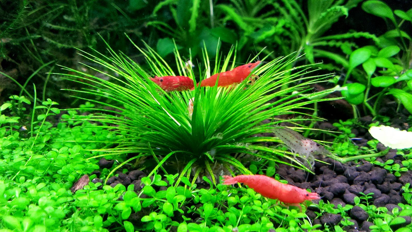 Vẻ đẹp của cây cỏ dùi trống trong bể thủy sinh