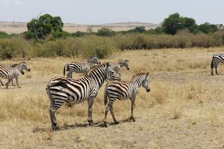 Paesaggio con zebre