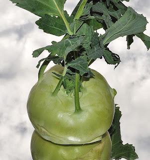 Kohlrabi, Brassica oleracea var. gongylodes L.