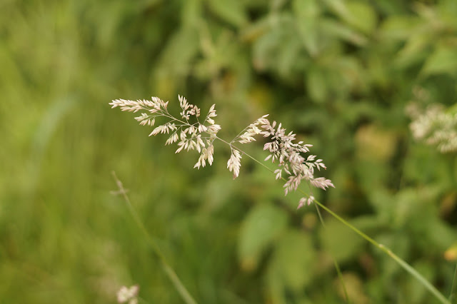 summer grass in Norfolk