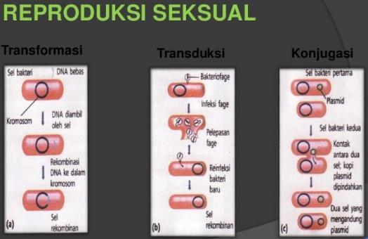 Cara Reproduksi Bakteri Secara Seksual dan Aseksual