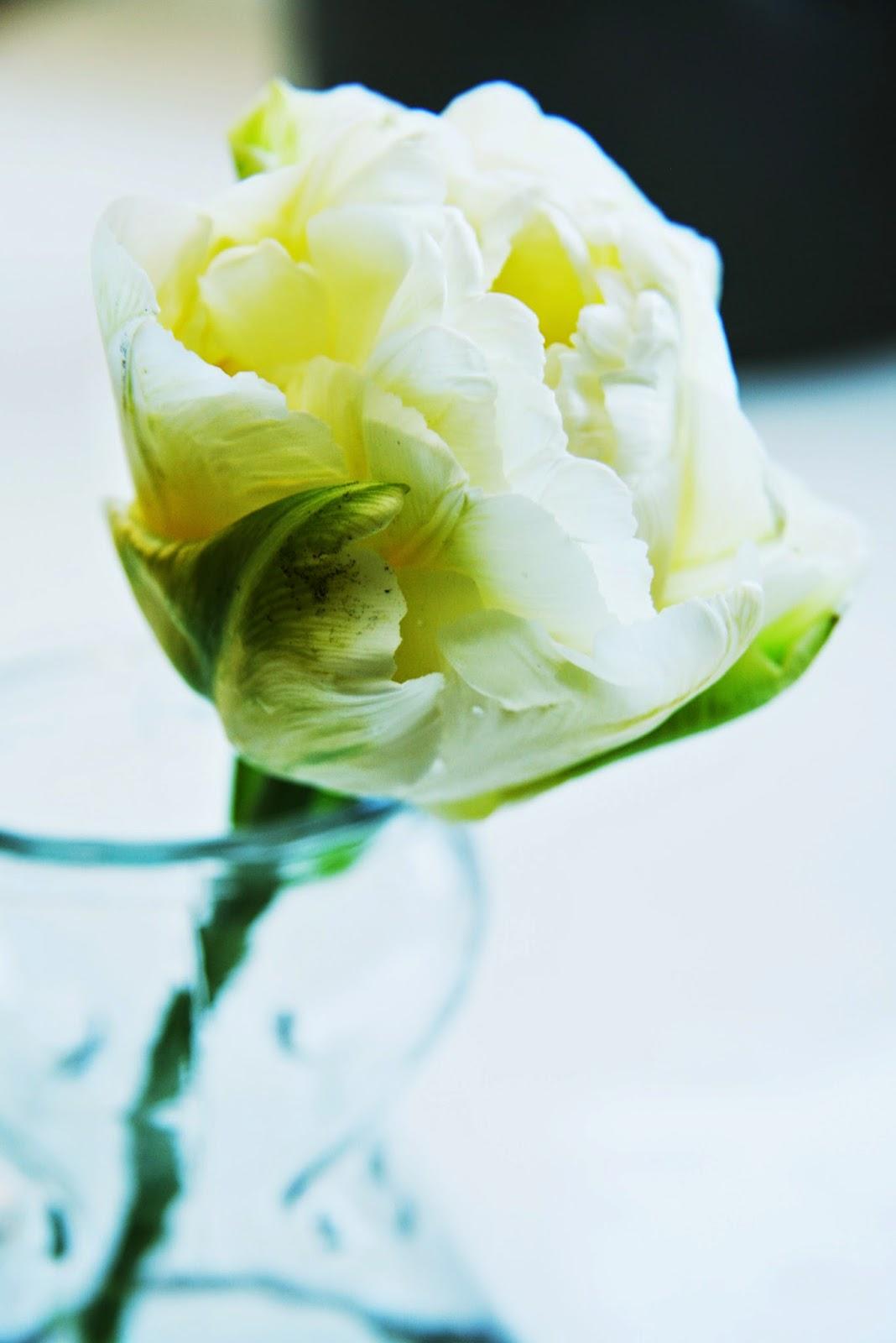 Tulipa Veron, tulipaner