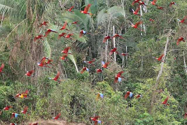 Guacamayos volando en la selva de Puerto Maldonado