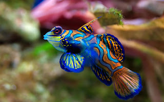 Amazing blue mandarin fish aquarium free download