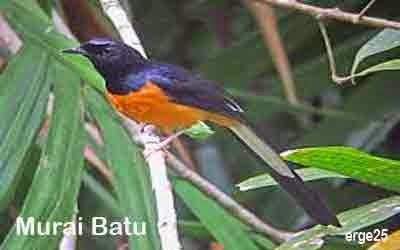 14, Burung, Terindah, Dan, Menakjubkan, Indonesia, Yang, Mendunia