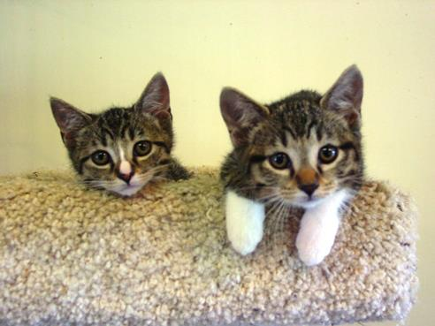 Two adoptable kittens at shelter-CarmaPoodale