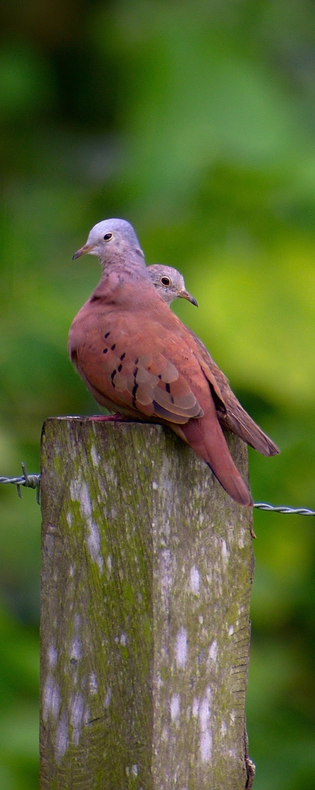 Dove pair on a wooden post.