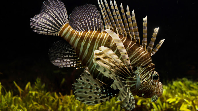 Wallpaper: Lionfish. Firefish. Turkeyfish. Butterfly-cod