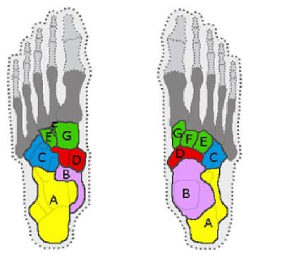 peta dan bentuk tulang tarsal