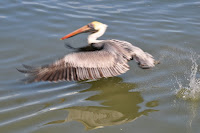 pelican flying low over water