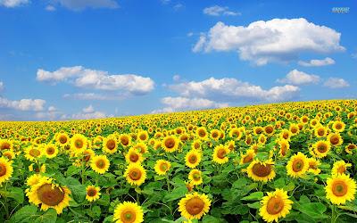 Hoa hướng dương đẹp nhất thế giới 10