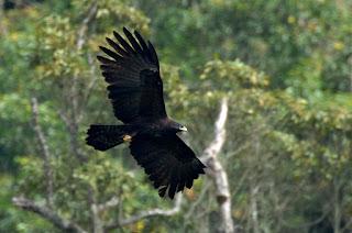 elang hitam