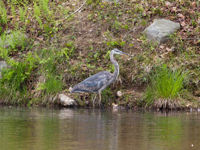 Great Blue Heron - Doodletown, New York